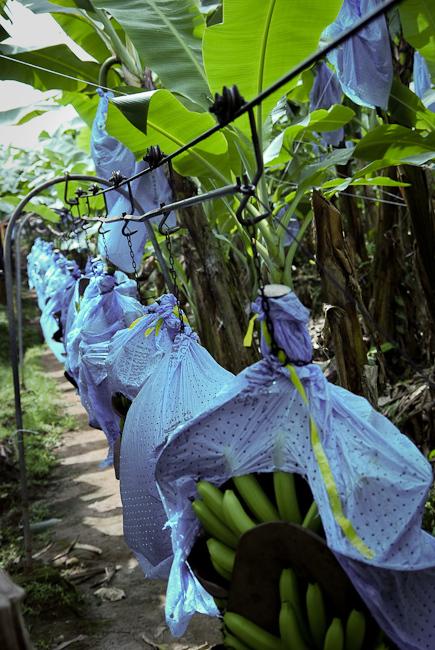 Откуда приезжают бананы