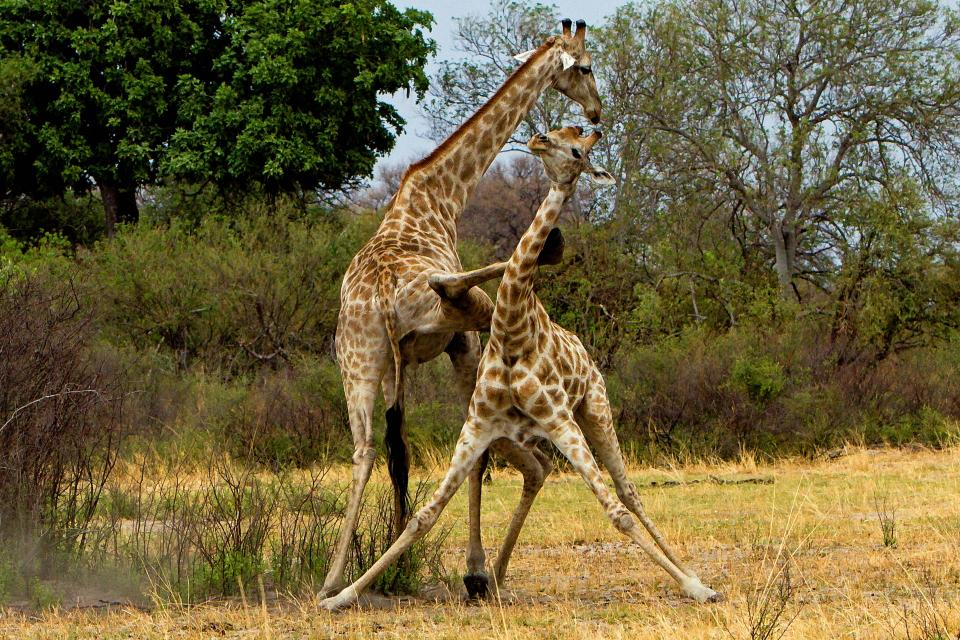 Битва жирафов в стиле кунг-фу