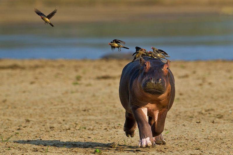 Маленький бегемотик испугался стаи птиц