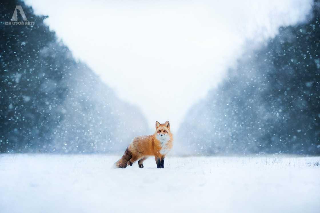 Очаровательные лисицы от 19-летней Изы Лисонь