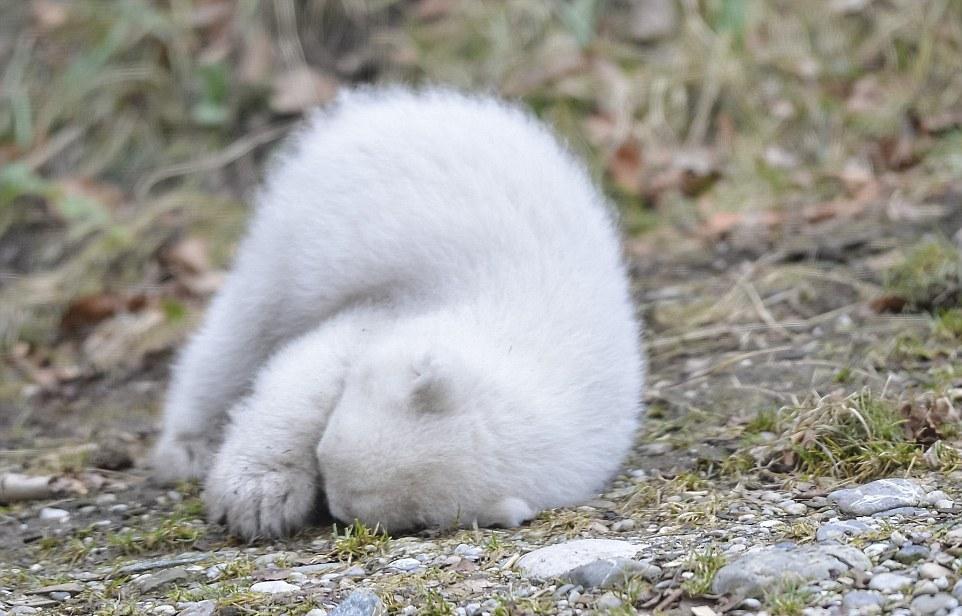 Первые шаги белого медвежонка в зоопарке Германии