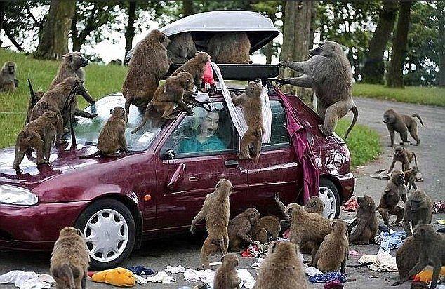 Животные из зоопарков троллят туристов