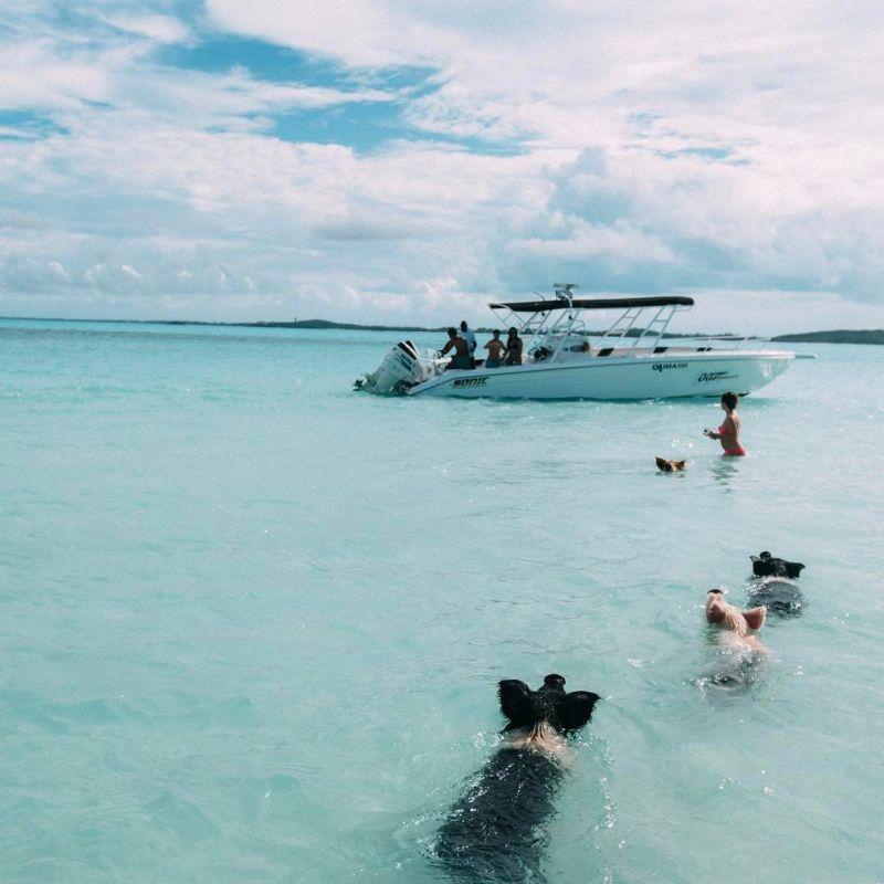 Туристы споили пивом и ромом милых плавающих свинок