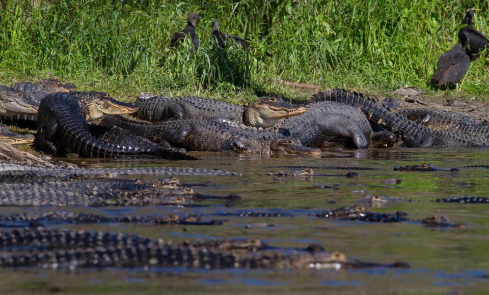 Сотни аллигаторов возле водоема во Флориде
