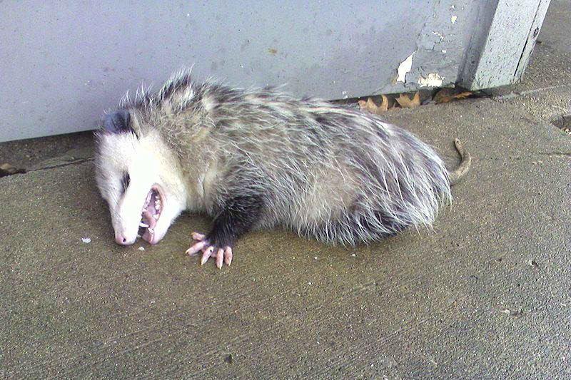 Животные притворяются мертвыми