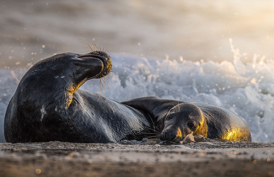 Жестокая схватка двух тюленей
