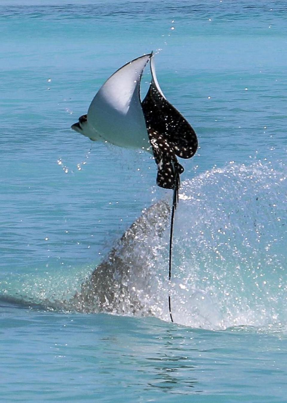 Скат улетел от напавшей на него акулы-молота