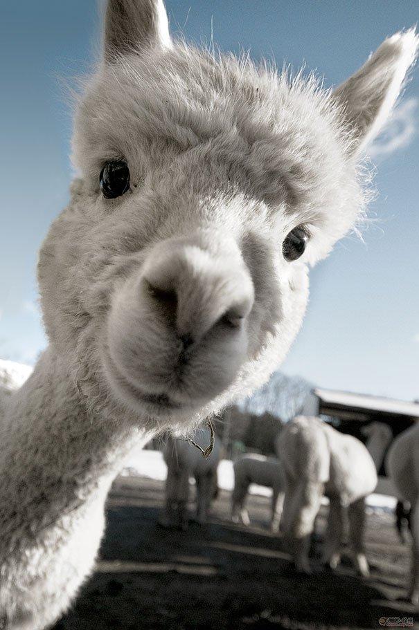 Очаровательные альпаки, которые вызовут у вас улыбку