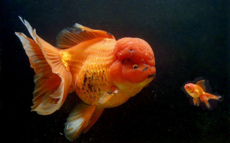 Золотая рыбка-монстр