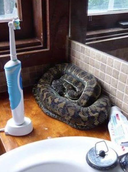 В Австралии змеи выползают из самых неожиданных уголков