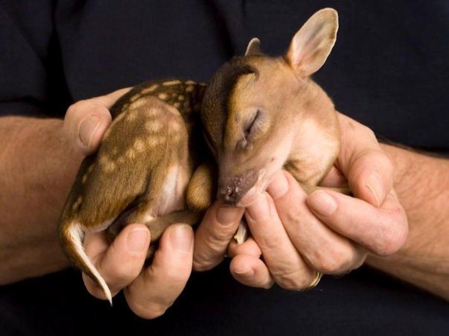 Милые детеныши животных, которые умещаются на ладонях