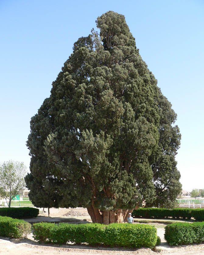 Старейшие деревья на планете