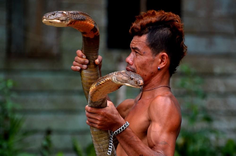 Заклинатель змей поймал две кобры и голыми руками удалил у них ядовитые зубы