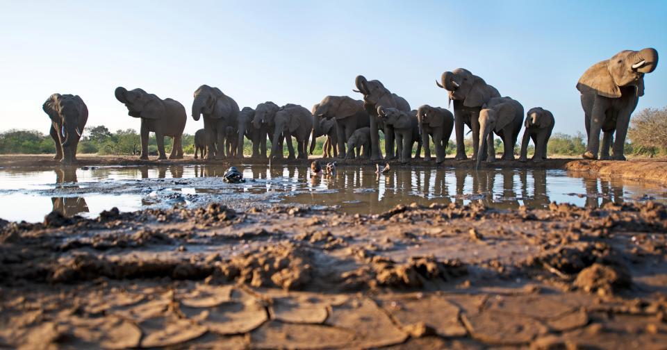 Фотограф погружается в грязную лужу, чтобы снять слонов на водопое