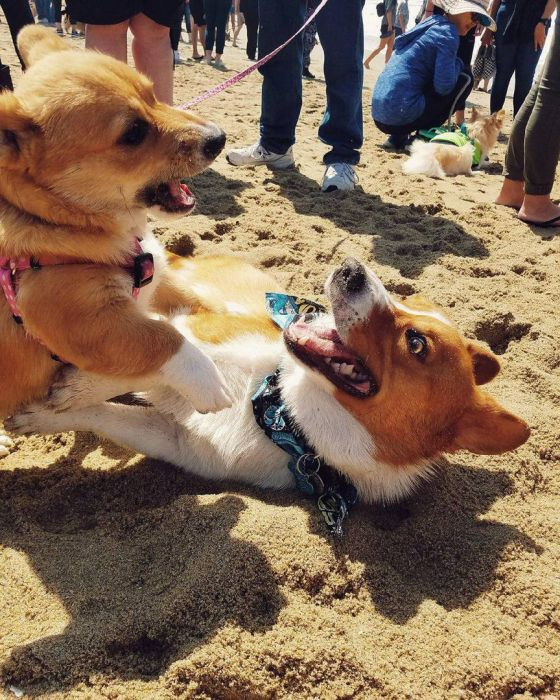В Калифорнии прошел пляжный день корги 2017