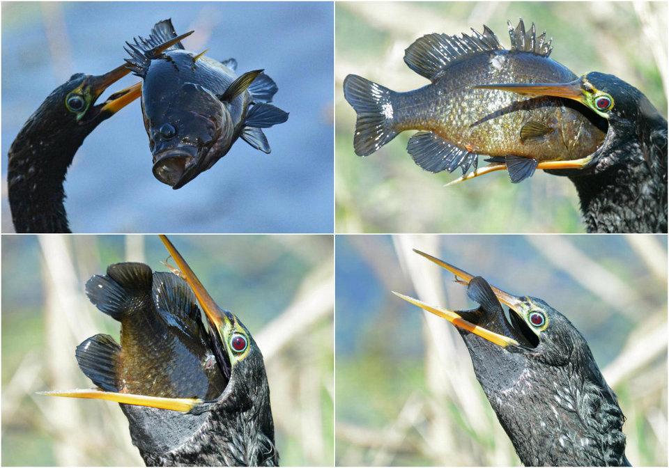 Голодная птица проглотила рыбу, которая в три раза больше её головы