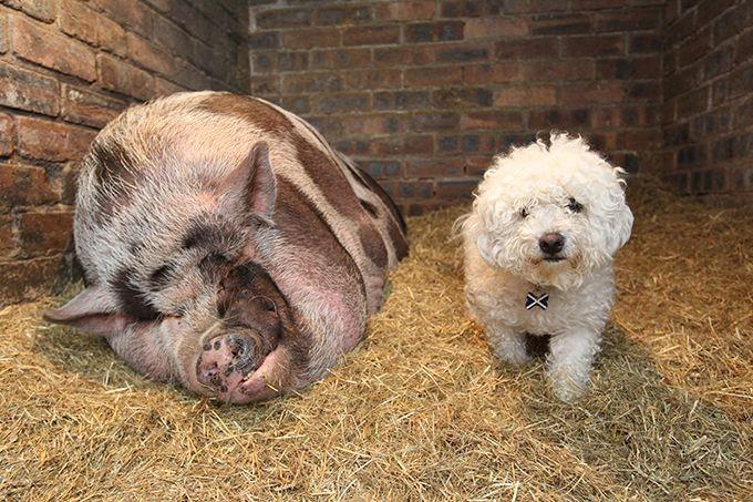Почему надо быть начеку, покупая декоративную свинку