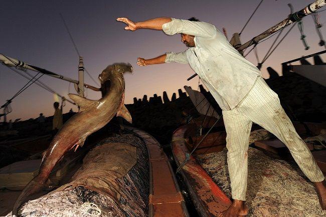 Акулы оказались на грани вымирания из-за деликатесов из плавников