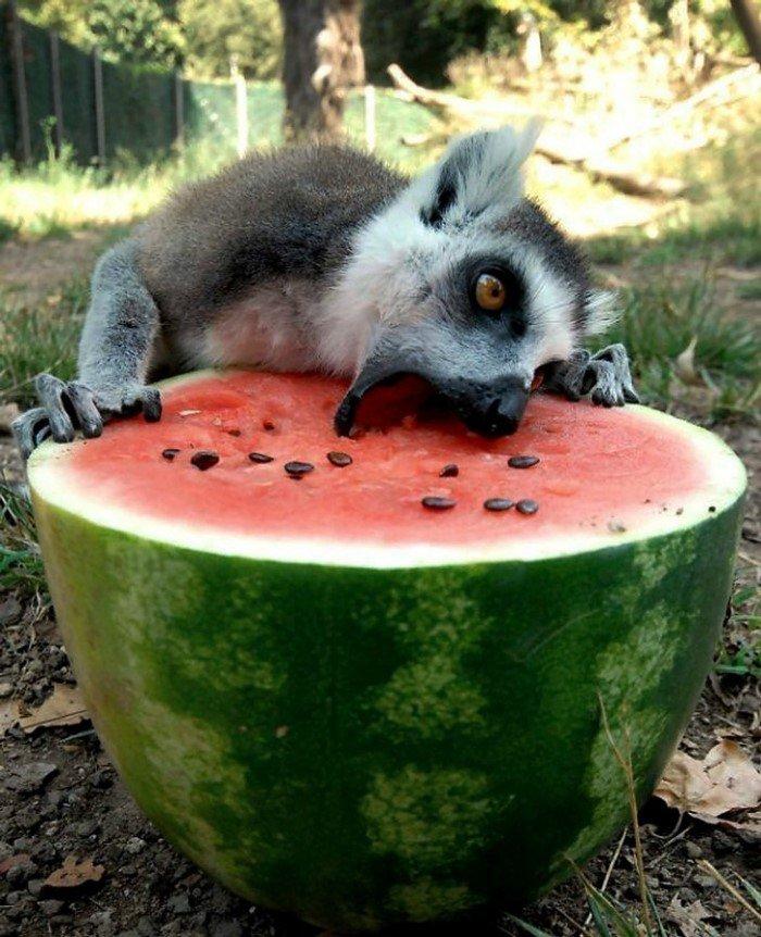 20 забавных животных, которые просто обожают арбузы