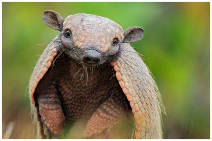 Броненосцы - удивительные животные