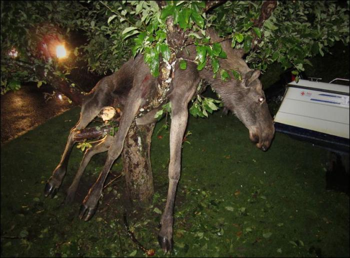 Пьяный лось на яблоне
