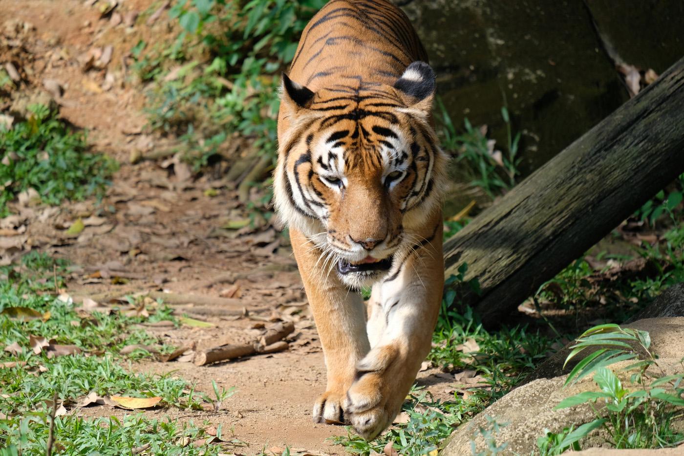 Какими бывают тигры