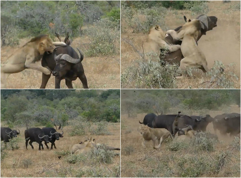 Львы напали на буйвола, но стадо не бросило товарища в беде