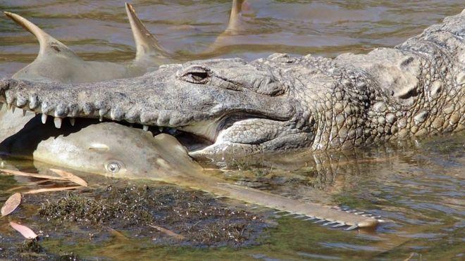 Острый нос не защитил рыбу-пилу от крокодила