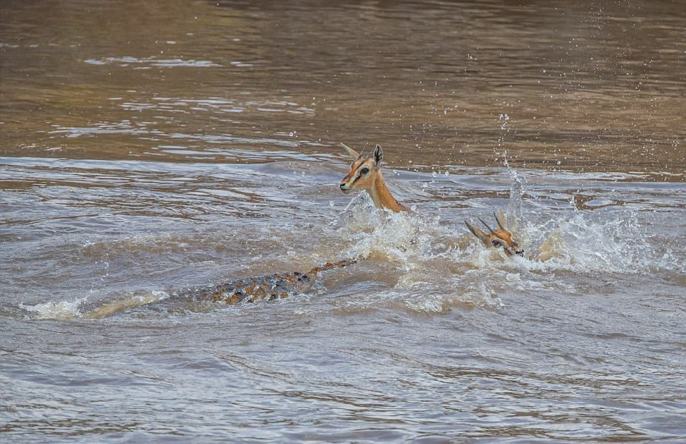 Крокодил перекусил газель пополам
