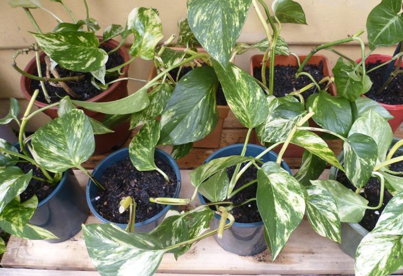 Полезные комнатные растения-воздухоочистители