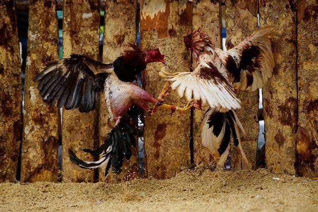 Петушиные бои на Кубе - кровавое и прибыльное зрелище