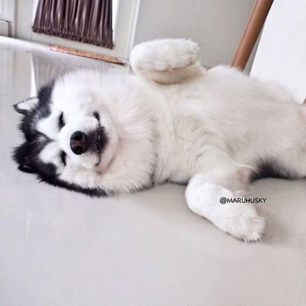 Хаски, похожий на панду, стал звездой Инстаграма