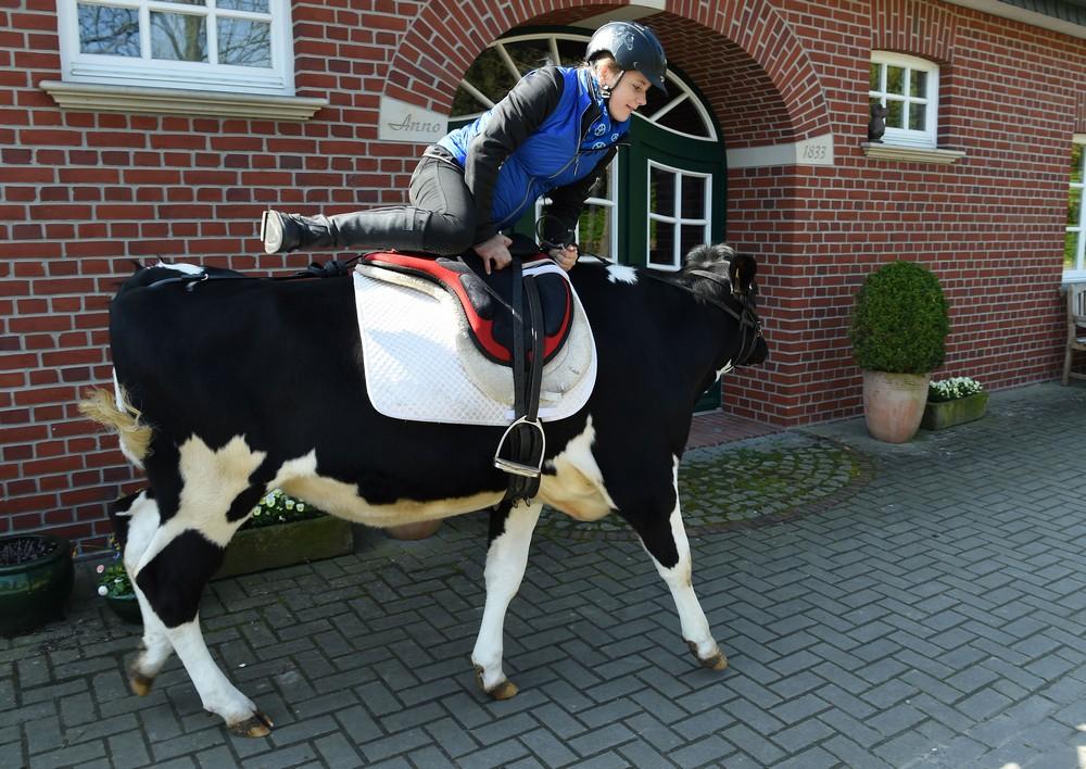 13-летняя школьница берет барьеры на ездовой корове
