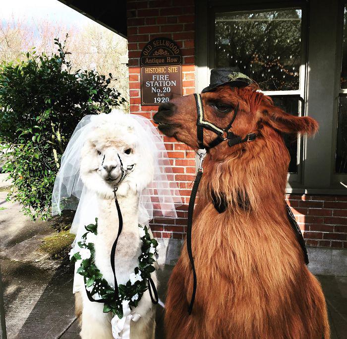 Ламы вместо свидетелей на свадьбе