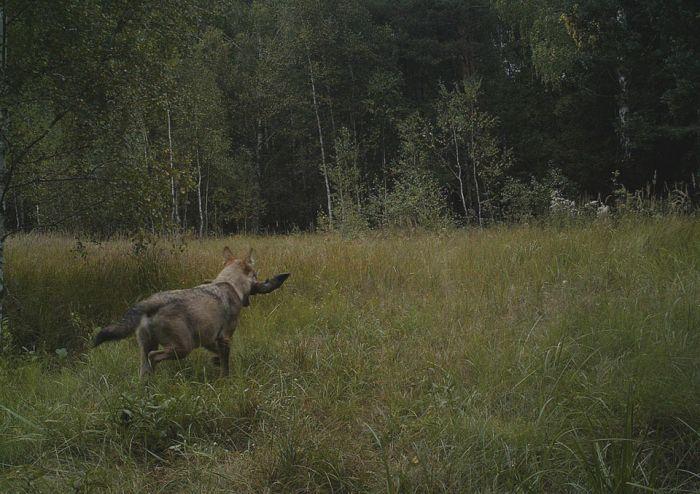 Животные в зоне отчуждения ЧАЭС