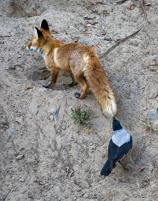 Вороны и воронье, которые делают что хотят