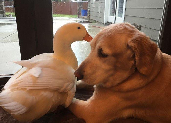 Крепкая дружба между ретривером и селезнем