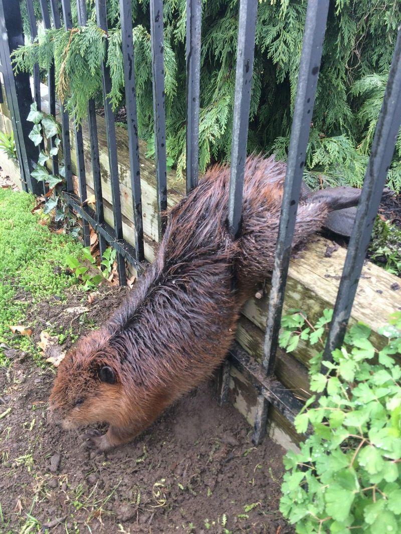 Набравший вес бобер застрял в металлическом заборе