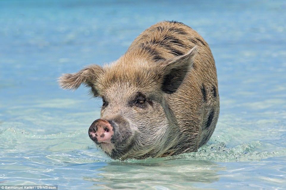 Жизнь свинок на необитаемом острове