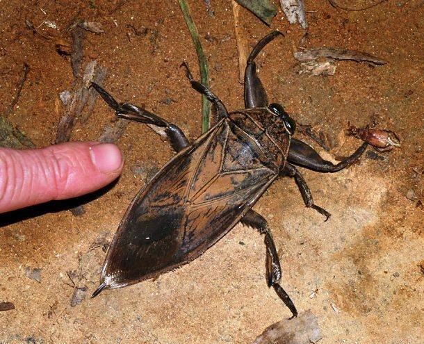 25 самых больших насекомых, от вида которых захватывает дух