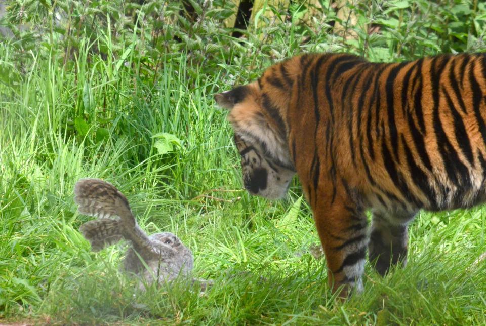 Совенок упал в вольер к молодому тигру