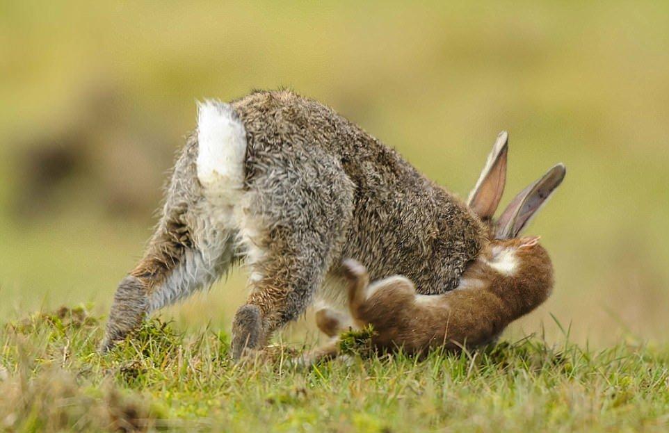Мелкий горностай завалил кролика крупнее себя