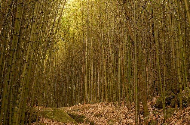 10 удивительных фактов про бамбук