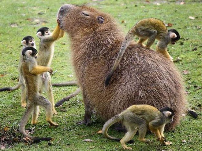 В компании капибар даже хищники ленивы