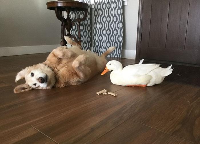 Дружба собаки и гуся