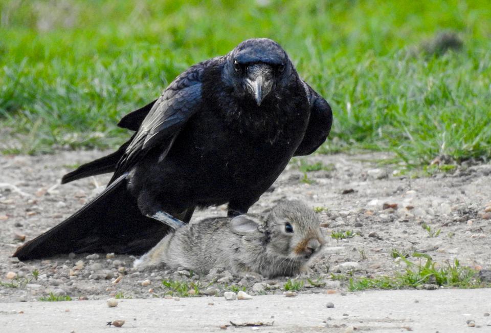 Две вороны убили кролика