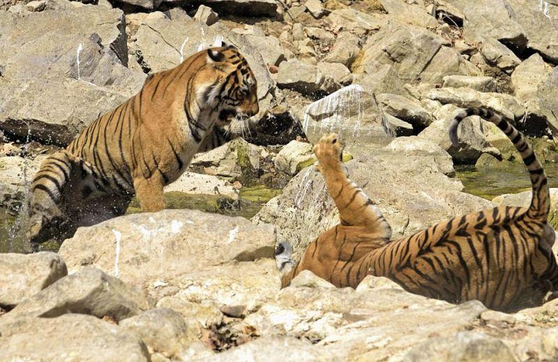 Две тигрицы устроили схватку из-за источника воды