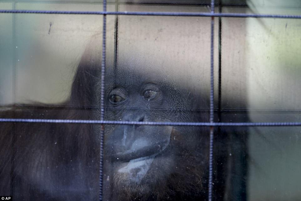 Грустные животные в зоопарке Буэнос-Айреса