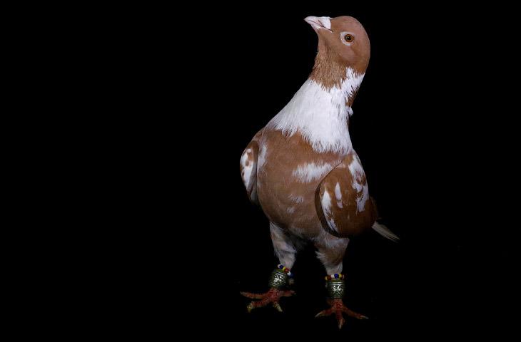 Красивые голуби на продажу