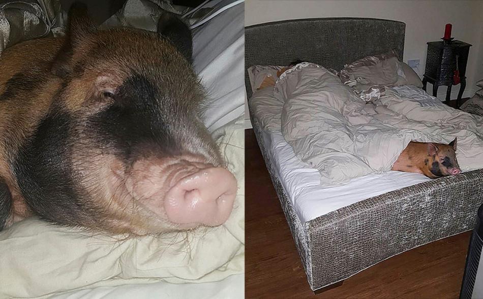 Семья делит постель со свиньей и скунсом